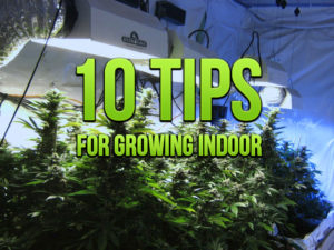 10 Quick Cannabis Post-Harvest Tips