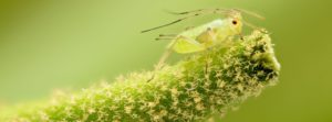 How to Rid your Cannabis Crop of Aphids